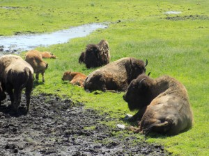 safari bisons