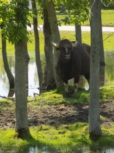 safari gaur
